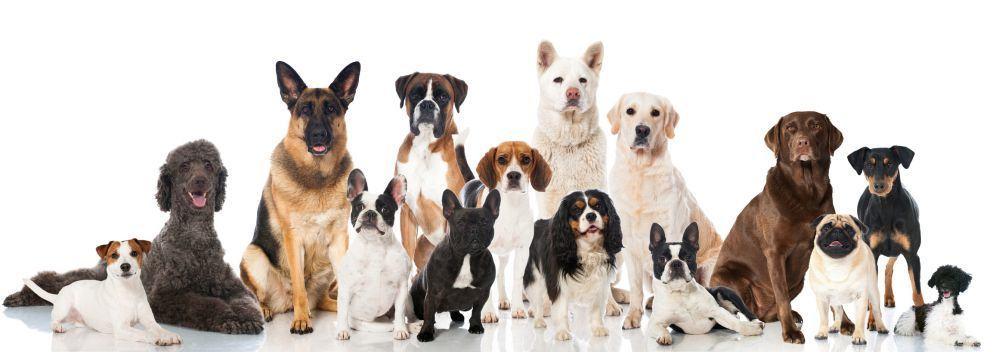 Vergleich Lebenserwartung Berner Sennenhund