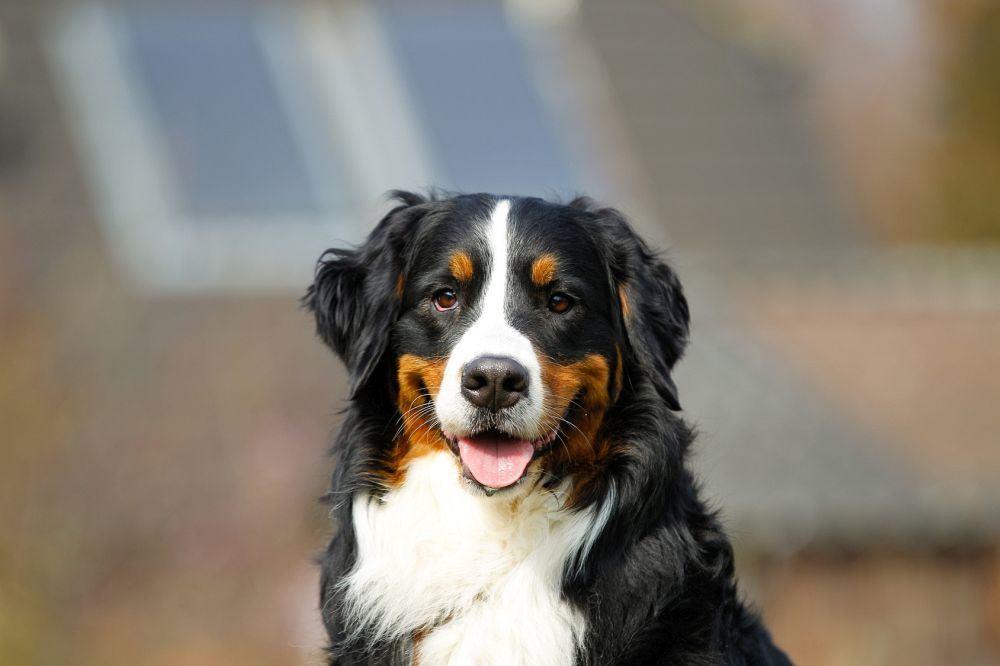 Berner Sennenhund Charakter: loyal, treu, intelligent, anhänglich