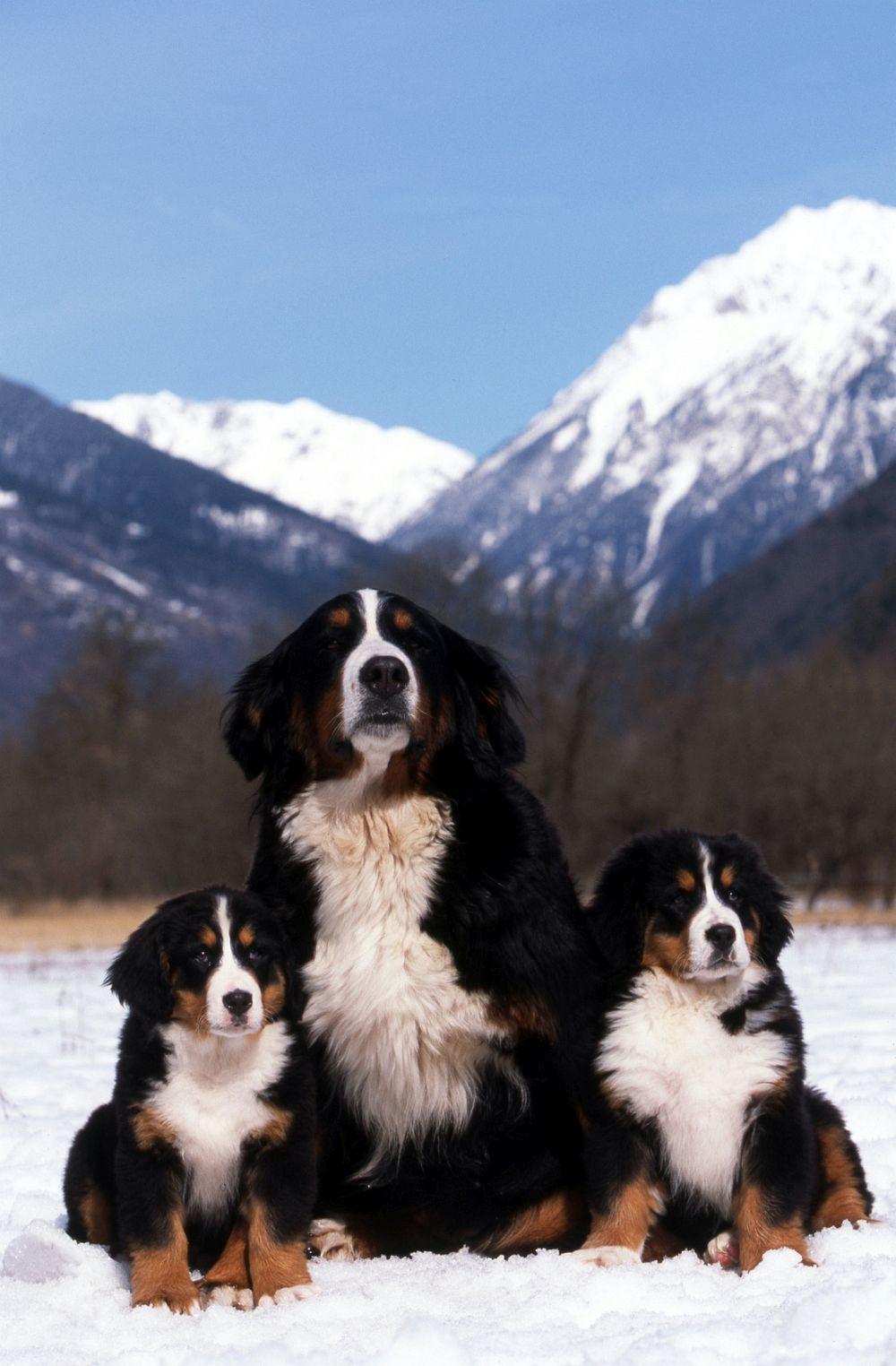 Berner Sennenhund Herkunft, Ursprung und Geschichte