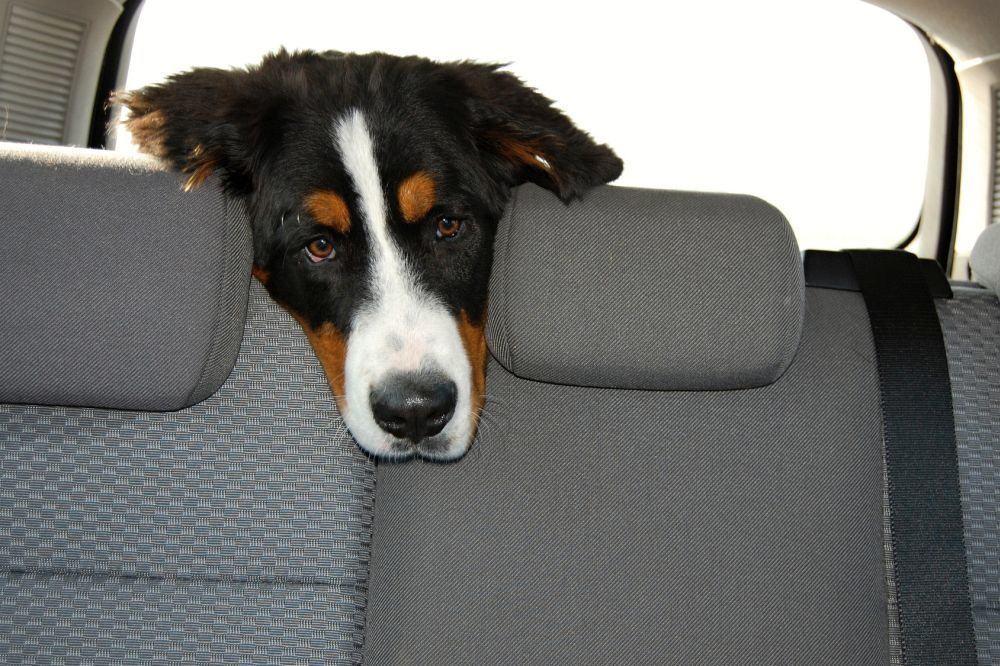 Berner Sennenhund im Auto transportieren