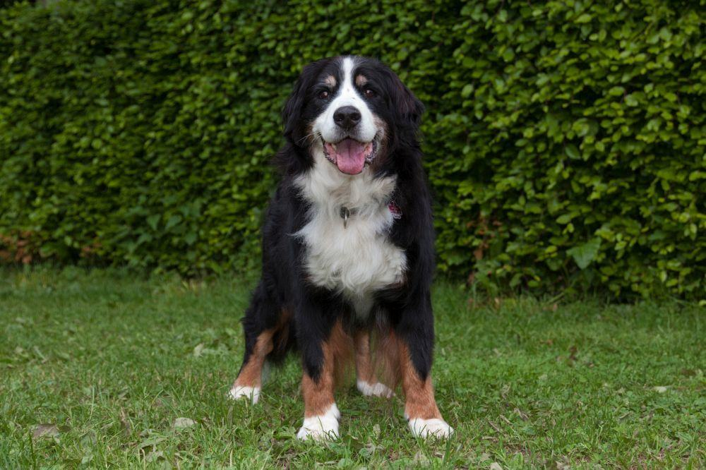 Berner Sennenhund in Not