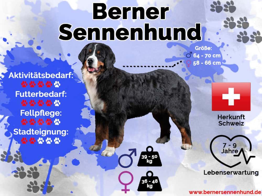 Berner Sennenhund Infografik