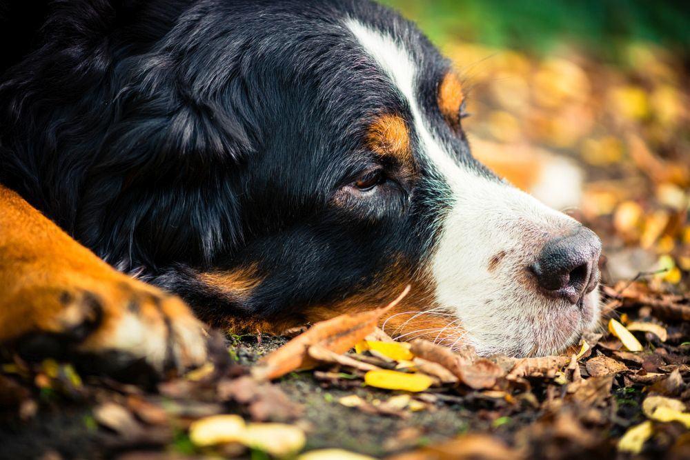 Wie erkenne ich, ob mein Berner Sennenhund krank ist?