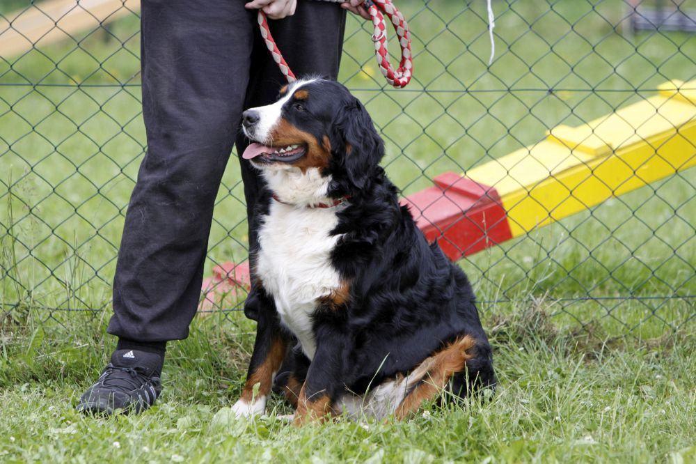 Berner Sennenhund Welpe an die Leine gewöhnen