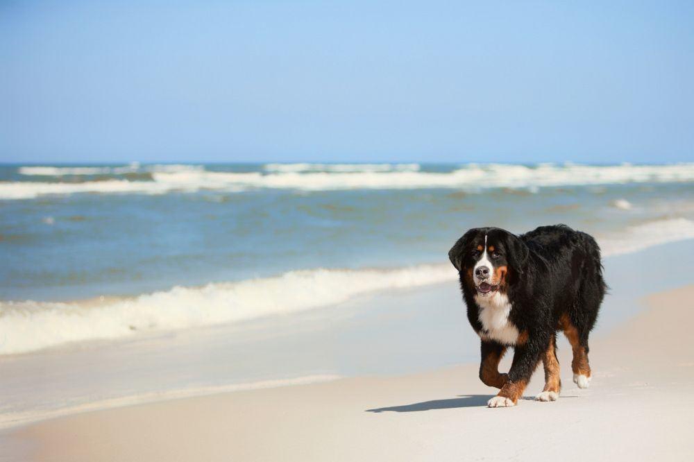 Mit dem Berner Sennenhund in den Urlaub fahren.