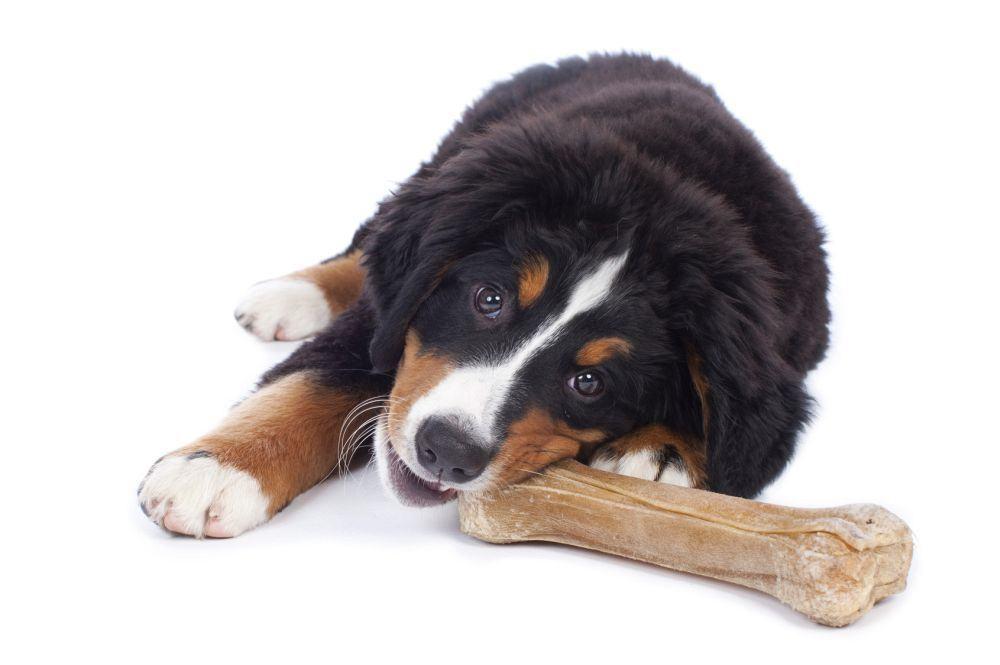 Berner Sennenhund Welpe Futter