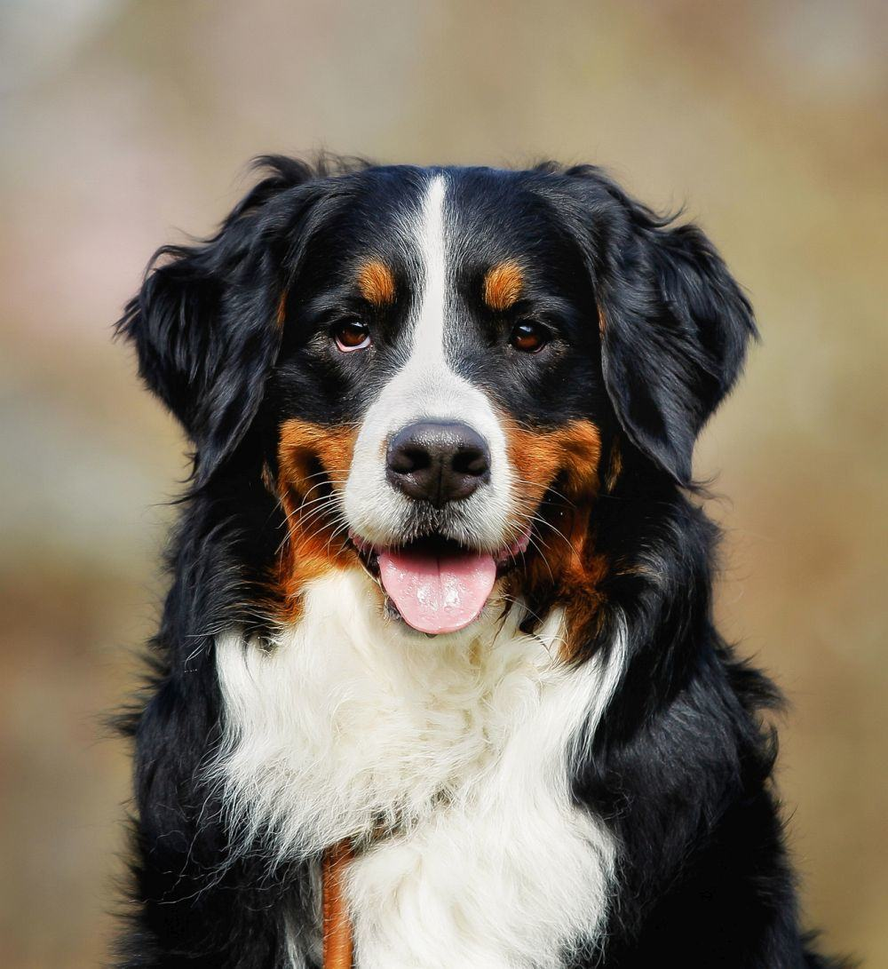 Berner Sennenhund - Bernese mountain dog
