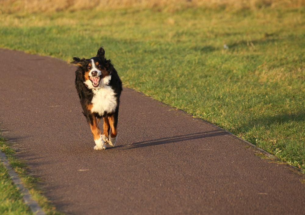 Bewegung Berner Sennenhund Lebensdauer