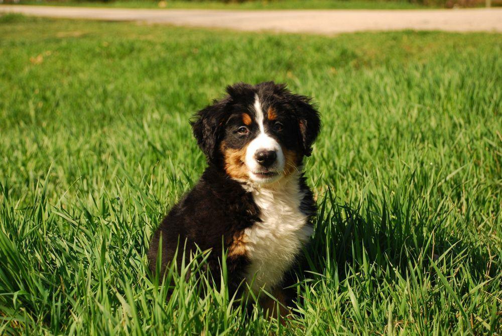 Charakter und Wesen Berner Sennenhund