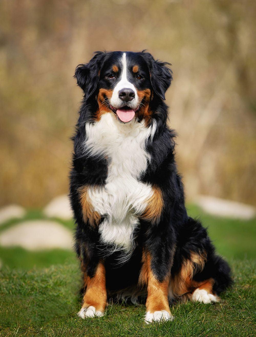 Bernese Dog Puppy