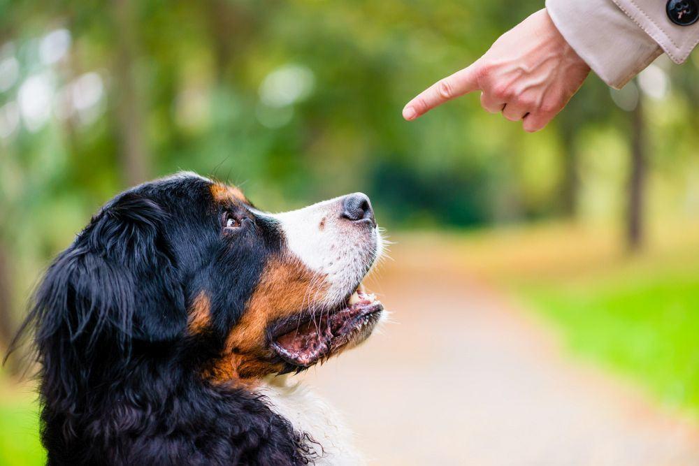 Konsequenz Erziehung Berner Sennenhund