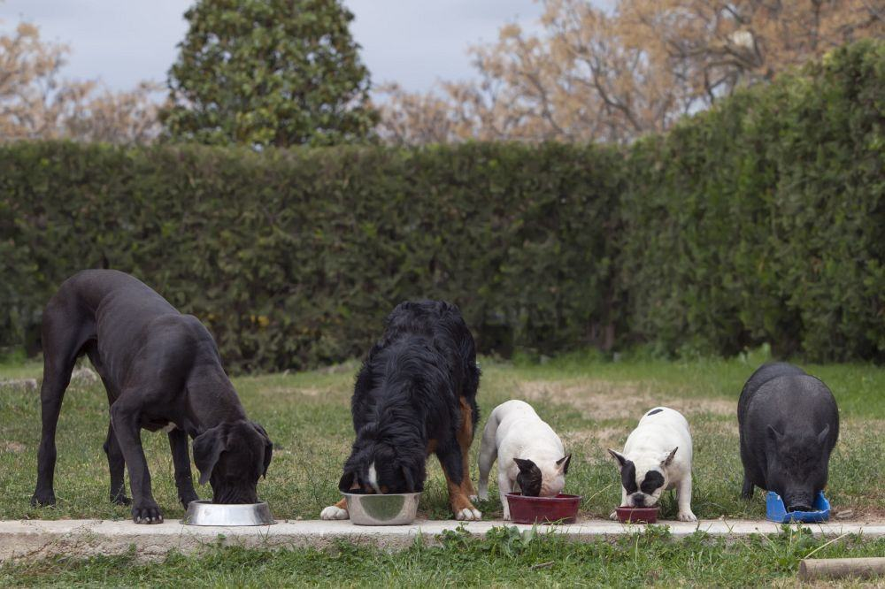 Futter Berner Sennenhunde