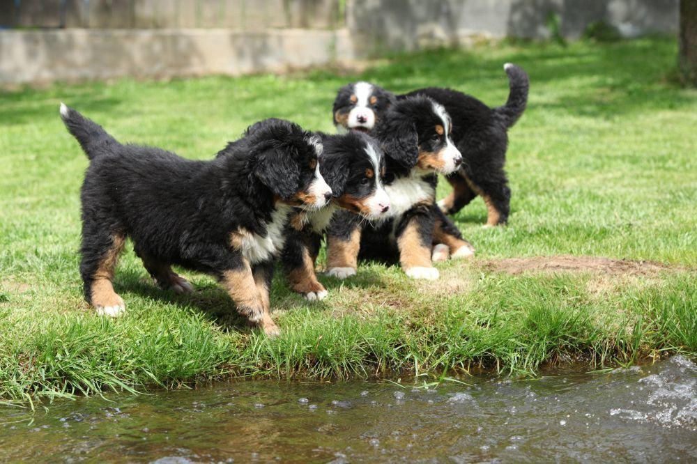 Wie erkennt man gesunde Berner Sennenhund Welpen?