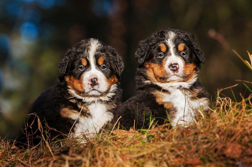 Lebensdauer Welpen Berner Sennenhund
