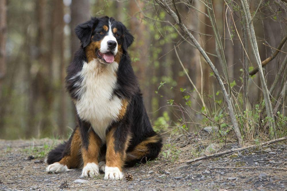 Lebenserwartung Berner Sennenhund