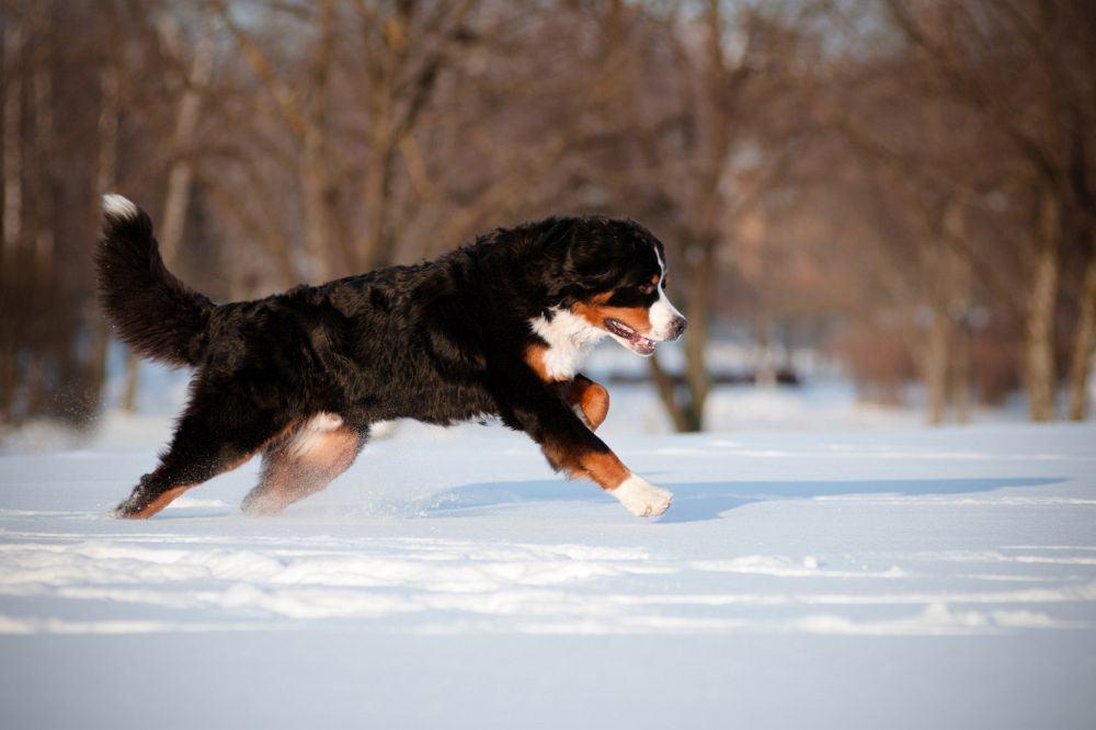 Pfoten Pflege Berner Sennenhund Winter