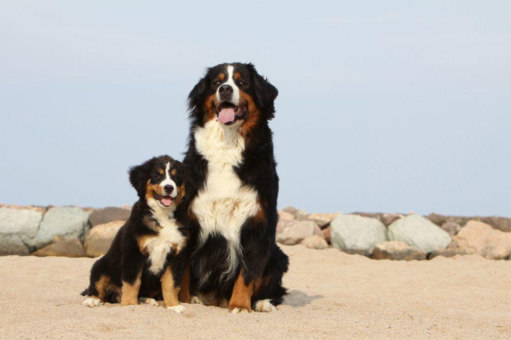 Krankheiten, Erbkrankheiten Berner Sennenhund