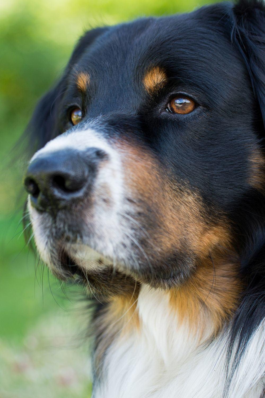 Übergewischt Berner Sennenhund
