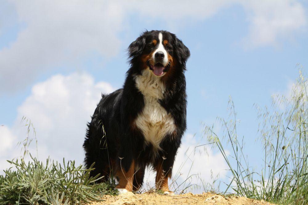 Wie groß wird ein Berner Sennenhund?