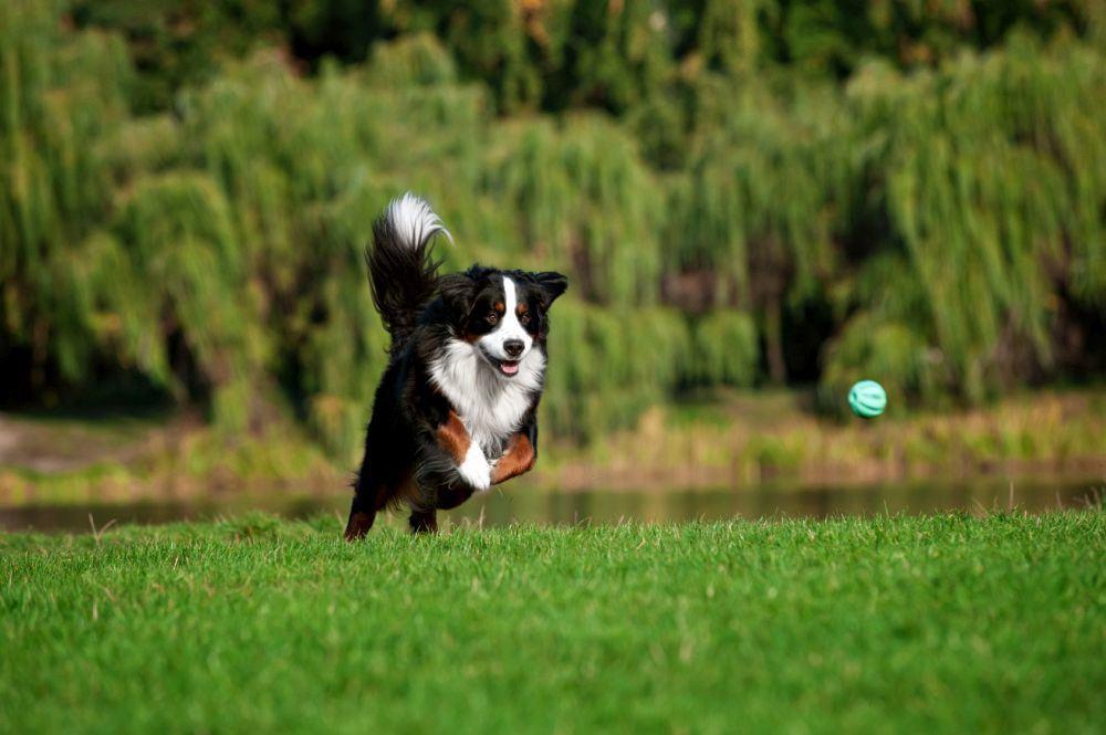 Zecken Berner Sennenhund