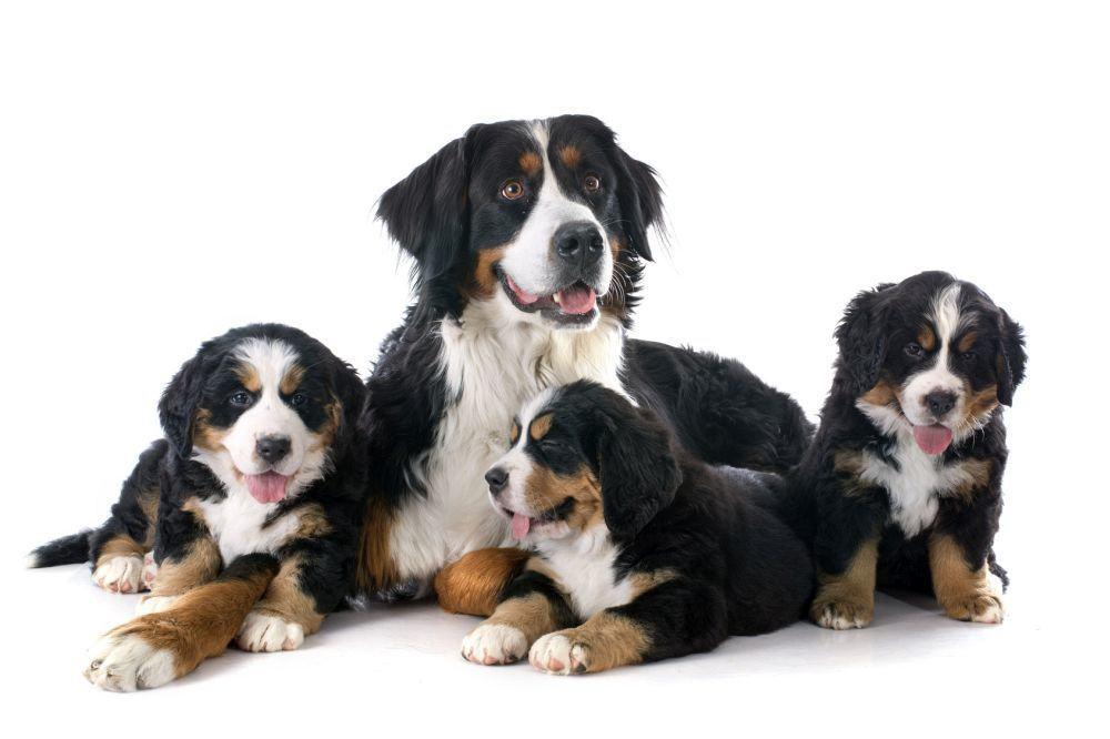 Berner Sennenhund Züchter
