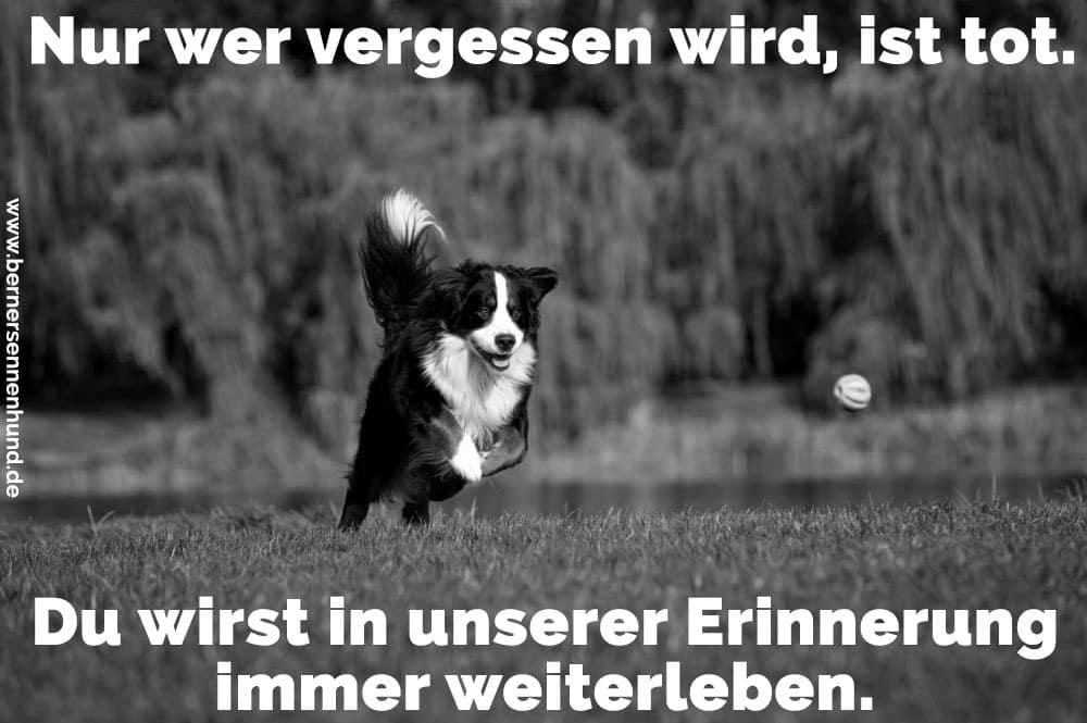 Ein Berner Sennenhund nach dem Ball laufen
