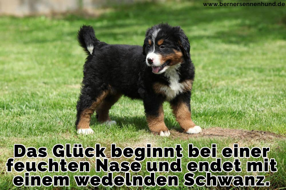 Berner Sennenhund Zitate Und Sprüche
