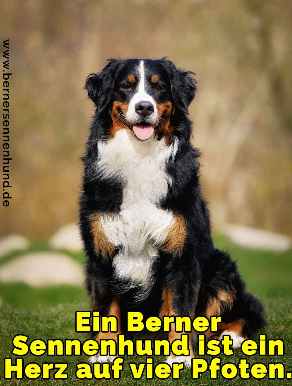 Ein Berner Sennenhund Baden