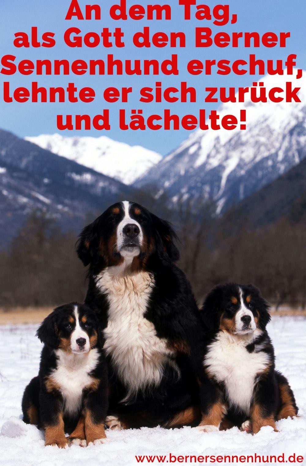 Drei Berner Sennenhunde in den Bergen
