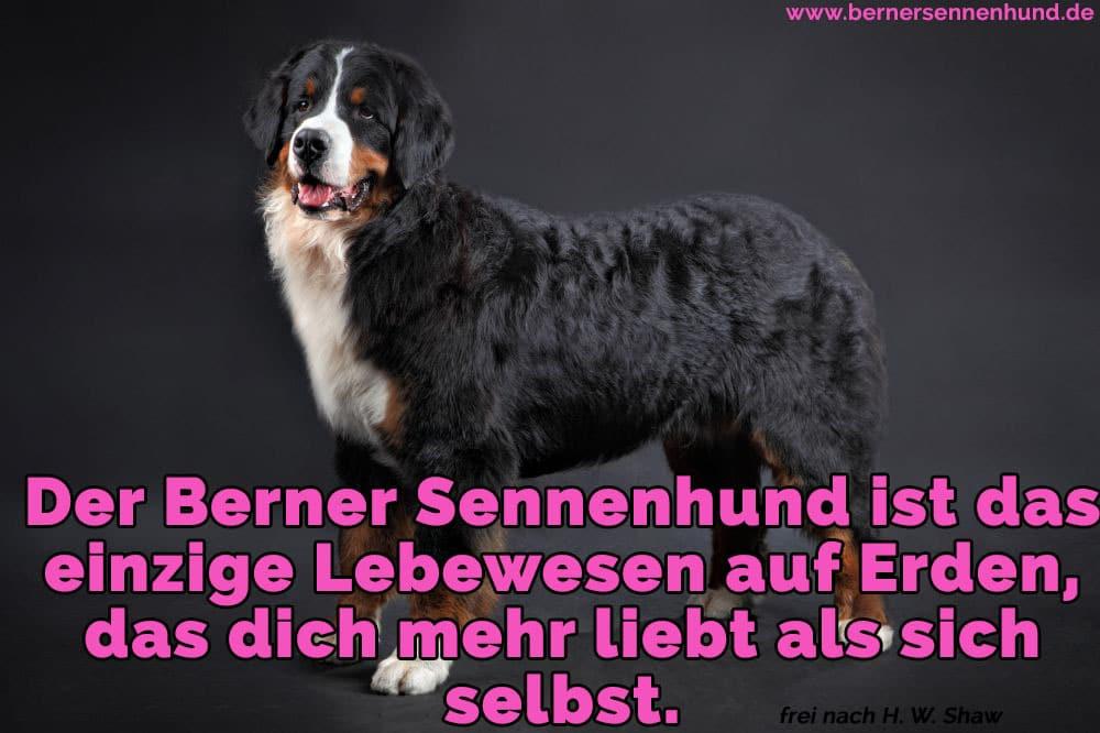 Ein wunderschöner Berner Sennenhund