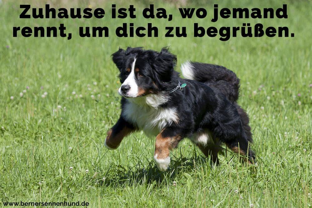 Ein Berner Sennenhund läuft auf dem Rasen