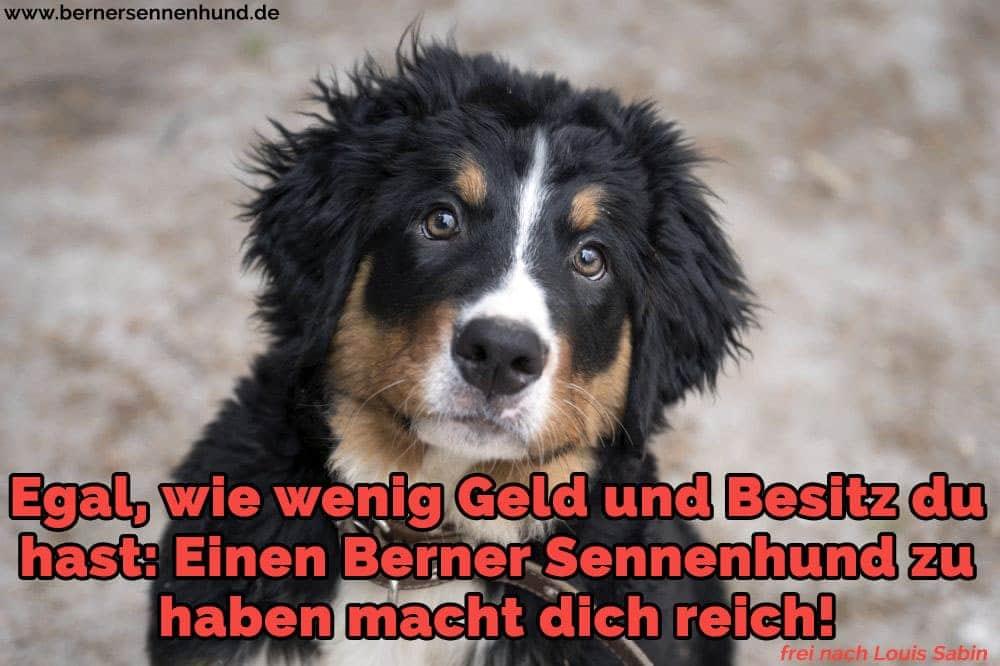 Ein schöner Berner Sennenhund