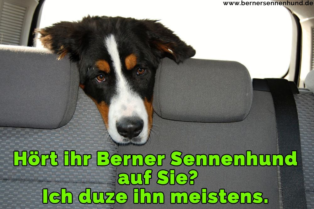 Ein Berner Sennenhund im Autositz