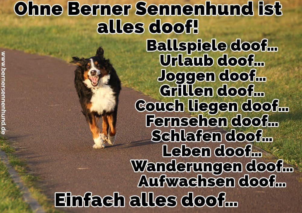 Ein Berner Sennenhund läuft in den Park