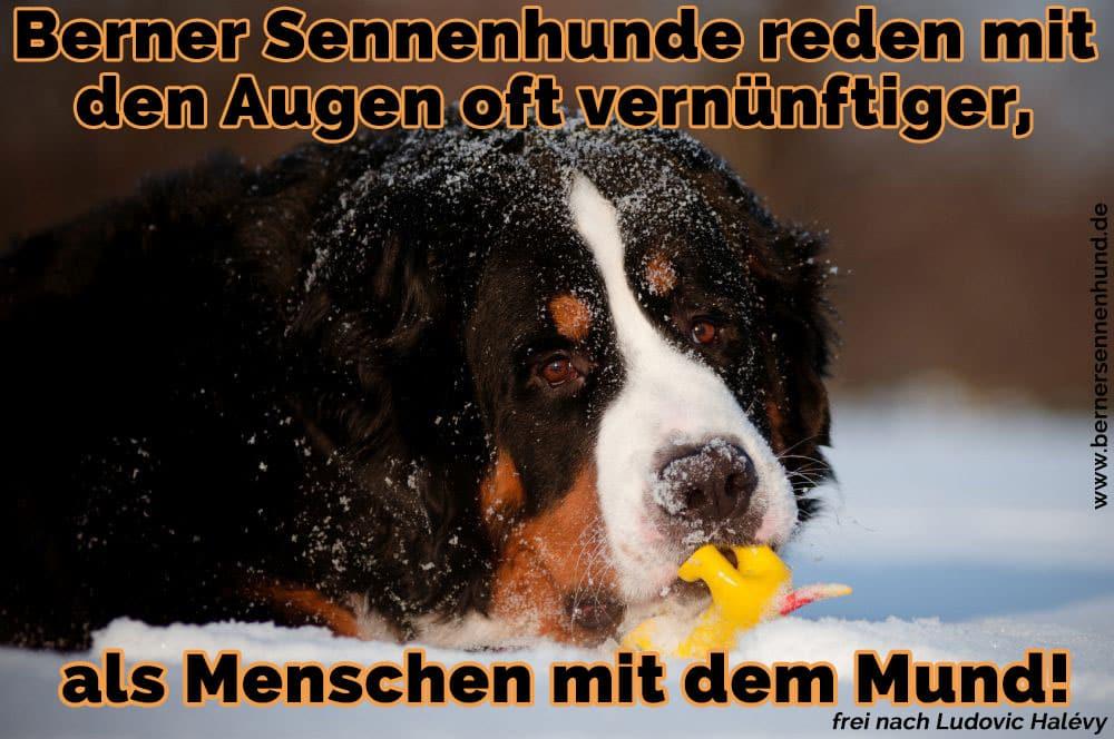 Ein Berner Sennenhund und sein Spielzeug