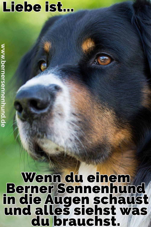 Ein trauriges Berner Sennenhund