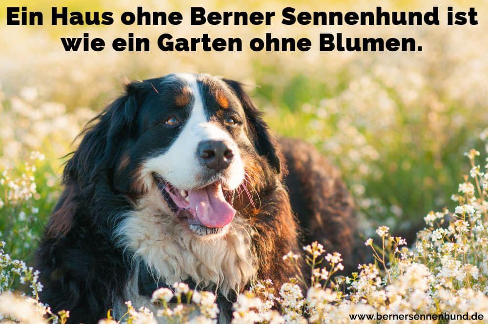 Ein Berner Sennenhund in Blumen zu Fuß