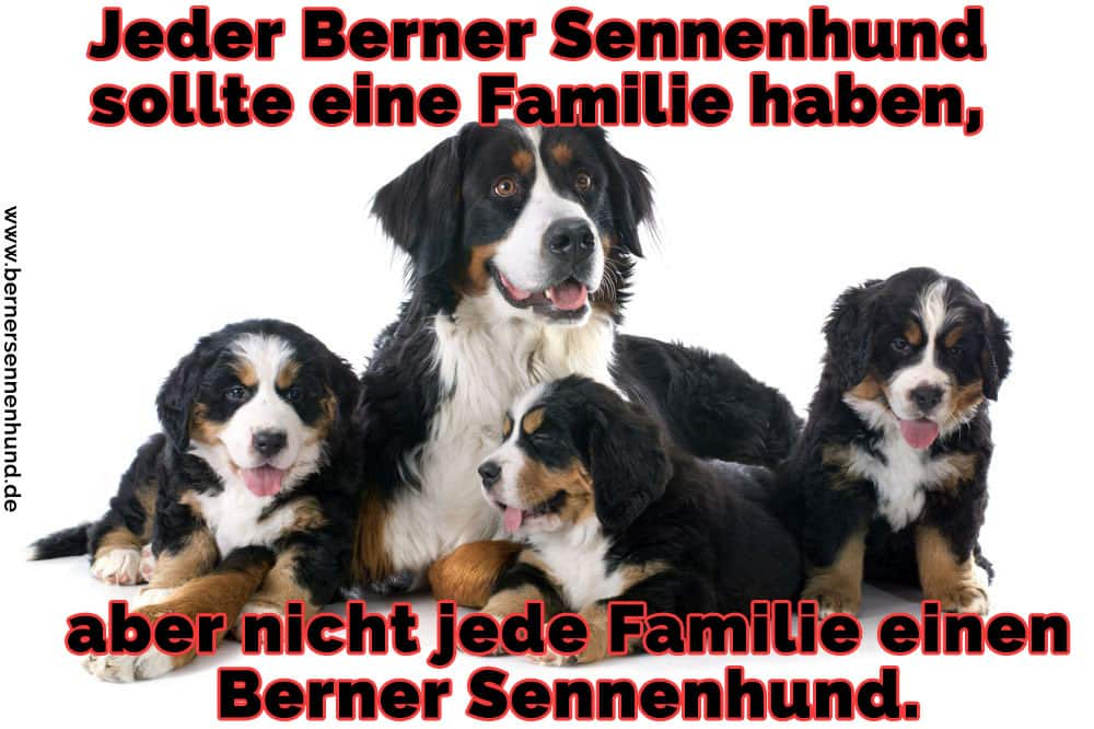 Eine Familie von Berner Sennenhund