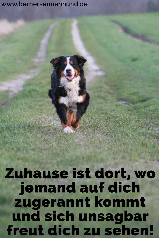 Ein Berner Sennenhund läuft