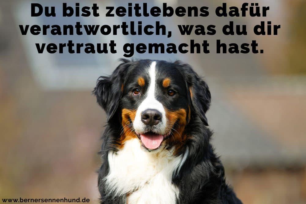 Ein Berner Sennenhund die Zunge zeigt