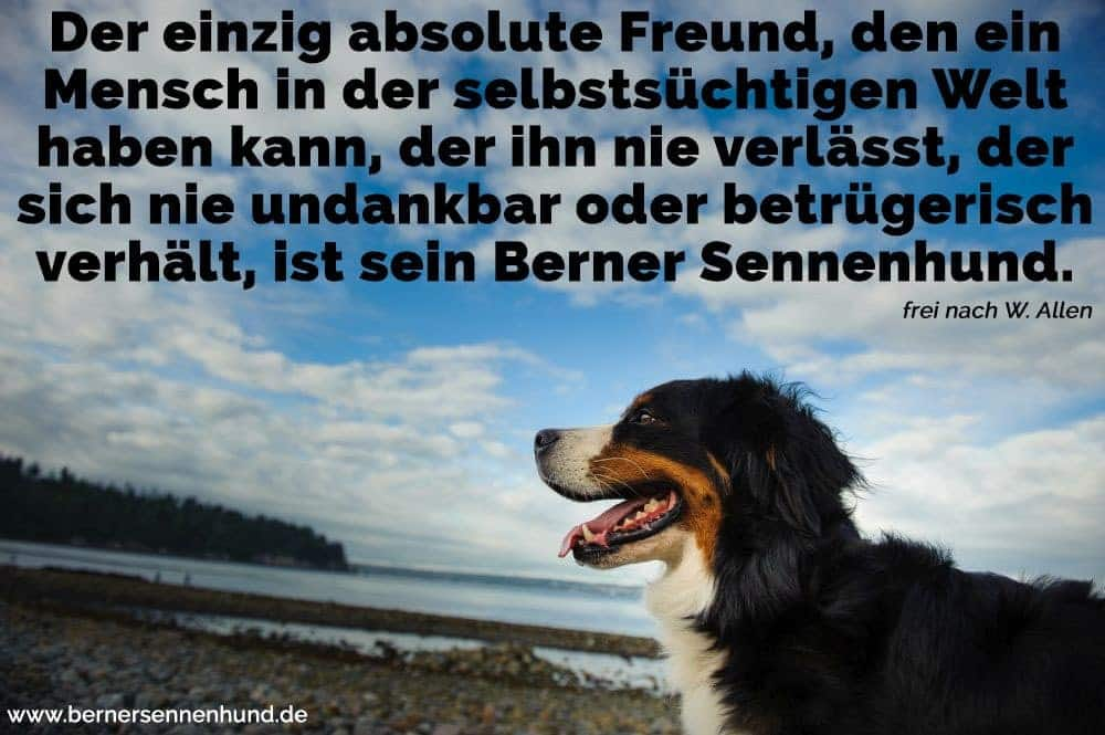 Ein Berner Sennenhund am Strand
