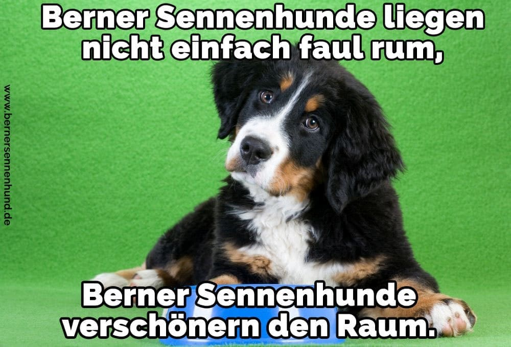 Ein Berner Sennenhund sitzt mit seinem Feeder