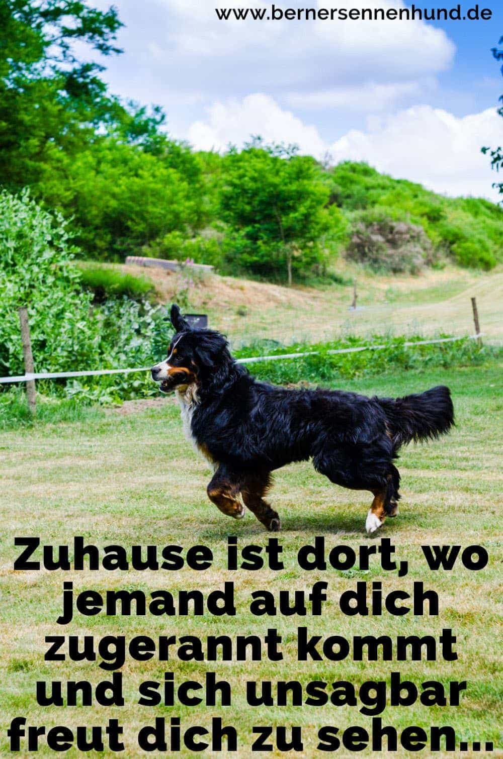 Ein Berner Sennenhund auf dem Rasen
