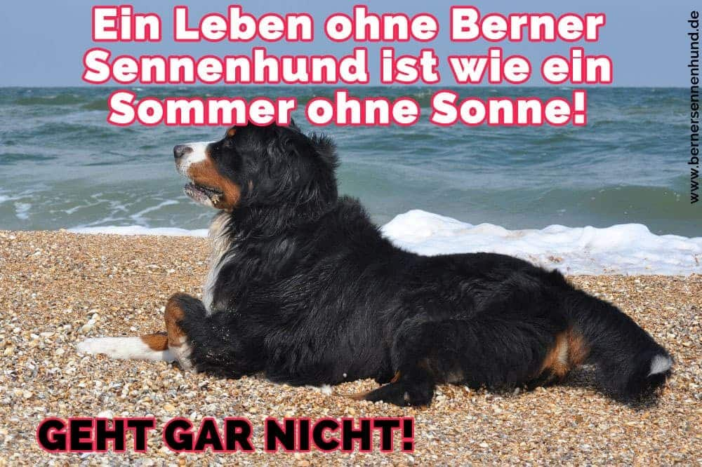 Berner Sennenhund am Meer