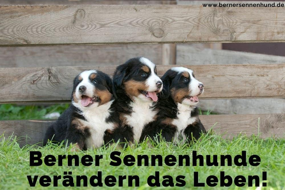 Drei Welpen Berner Sennenhund auf dem Rasen