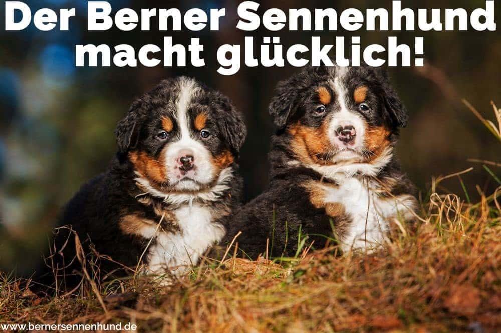 Zwei Welpen Berner Sennenhund in Feld