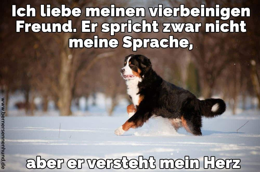 Ein Berner Sennenhund läuft im Schnee