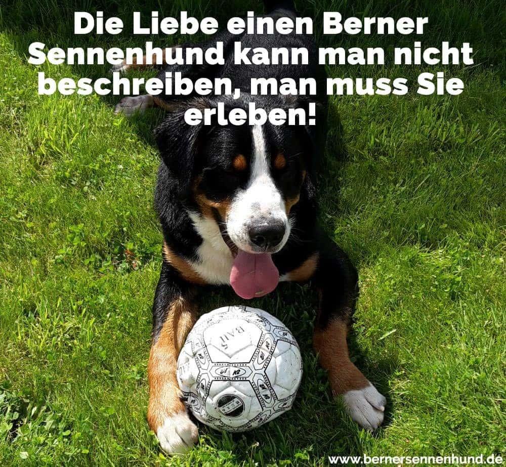 Ein Berner Sennenhund spielt mit dem Ball