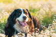 Bernese mountain dog lying in the grass