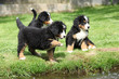 Three Bernese Mountain Dog puppies